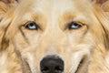 White Shepherd dog with blue eyes. A close up portrait. Royalty Free Stock Photo