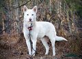 White Shepherd Siberian Husky mixed breed dog Royalty Free Stock Photo