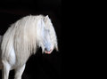 White shire horse with black background the Stock Photo