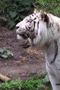 White siberian tiger Stock Photo