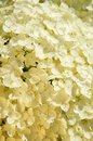 White small blossoms closeup Royalty Free Stock Photo