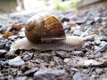 White snail on little rocks Royalty Free Stock Photo
