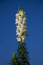 White snapdragon flower on day light with blue sky Stock Image