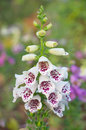 White snapdragon flower in winter thailand Stock Photography