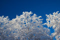 White Snow-Covered Trees Royalty Free Stock Photo