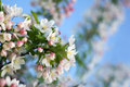 White SnowDrift Crabapple Tree Flower Blossoms Royalty Free Stock Photo