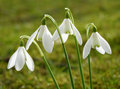 White snowdrop Stock Photography