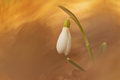 White snowdrop flower in spring with abstract colorful bokeh background. Magic view of spring flower Royalty Free Stock Photo