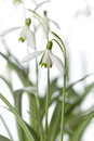 White snowdrop flower spring closeup Royalty Free Stock Photo