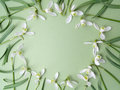 White snowdrop flowers frame on a green background. Flat lay. Top view Royalty Free Stock Photo