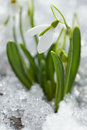 White snowdrop flowers in the snow Stock Photos