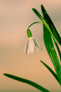 White snowdrop on green background Royalty Free Stock Images