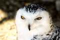 White snowy owl Royalty Free Stock Photo