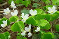 White sorrel in nature background Royalty Free Stock Photos