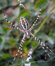 White Spider in His Web Royalty Free Stock Photo