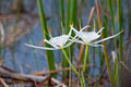 White Spider Lily flowers Stock Photo