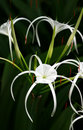 White Spider Lily - Hymenocallis sp. Royalty Free Stock Photo