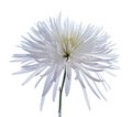 White spider mum Royalty Free Stock Photo
