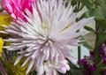 White spider Mum Royalty Free Stock Photo