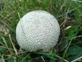 White spiny puffball  lycoperdon echinatum pers. Royalty Free Stock Photo