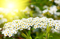 White spiraea meadowsweet flowers early spring shrub in the family rosaceae Stock Image