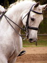 White sport horse portrait with bridle Stock Photo
