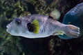White-spotted puffer Arothron hispidus. Royalty Free Stock Photo