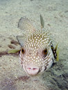 White spotted Puffer Fish Royalty Free Stock Image