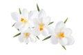 White Spring Crocus Flowers Is...