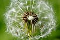 White spring dandelion flower a Royalty Free Stock Photos