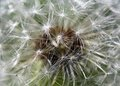 White spring dandelion flower close up Stock Photo