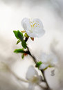 White spring flower nature blur backgrounds focus shift techniques Royalty Free Stock Images