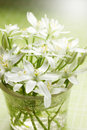 White spring flowers gentle family of lilies Royalty Free Stock Images