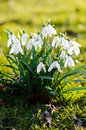 White spring flowers snowdrops time Stock Photos