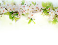 White spring flowers on a tree branch over white background Stock Image