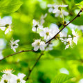 White spring flowers on tree brunch with green foliage background Royalty Free Stock Image
