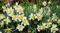 White spring garden narcissus flowers with red tulips springtime flower bed. Narcissus flower also known as daffodil, daffadowndil