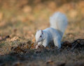 White squirrel burying nuts rare stashing at a park in olney illinois one of the few places were a large number of them exist the Royalty Free Stock Photos