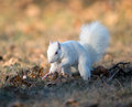 White squirrel burying nuts rare stashing at a park in olney illinois one of the few places were a large number of them exist the Stock Photo
