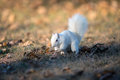 White squirrel burying nuts rare stashing at a park in olney illinois one of the few places were a large number of them exist the Royalty Free Stock Image