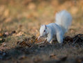White squirrel burying nuts rare stashing at a park in olney illinois one of the few places were a large number of them exist the Stock Photography