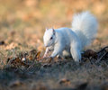White squirrel burying nuts rare stashing at a park in olney illinois one of the few places were a large number of them exist the Stock Images