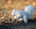White squirrel burying nuts rare stashing at a park in olney illinois one of the few places were a large number of them exist the Stock Image