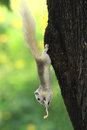 White Squirrel eating snack Royalty Free Stock Photos
