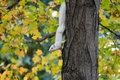 White squirrel and fall a in a park in olney illinois clings to a tree with colors Stock Photo