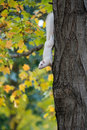 White squirrel and fall a in a park in olney illinois clings to a tree with colors Stock Photos