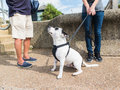 White staffordshire bull terrier with black eye patch a dog markings on his and ear he has a harness on and he is on a lead he is Stock Photos