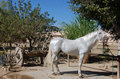 White stallion Royalty Free Stock Image
