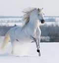 White stallion galloping Royalty Free Stock Photo