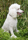 White Standard Poodle Stock Photography